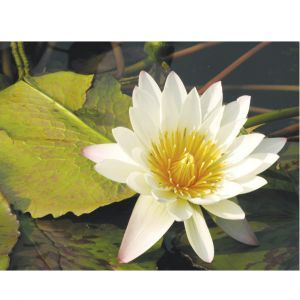 Water Lilly Custom Made Picture Frame