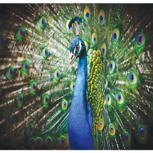 Peacock Custom Made Picture Frame